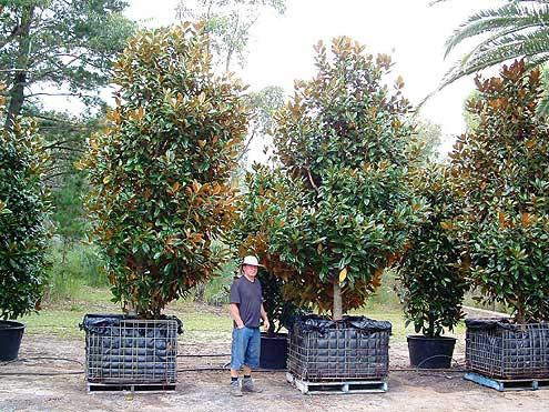 Mature Trees And Specimen Tree Nursery Very Special Trees Peats