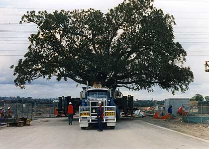 We were also awarded the contract to move the majority of the trees at the Sydney Olympic Games Site. The largest tree being a ficus macrophylla, weighing some 280 tonnes.